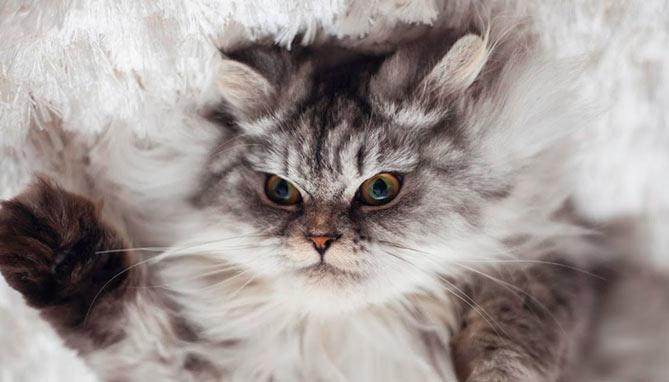 סירוס חתול - וטרינר חיפה