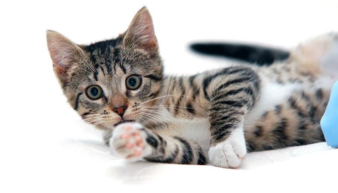 סירוס חתול - גלי וטרינרית בחיפה