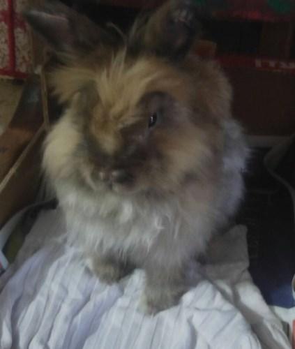 ארנב עם מחלת עור