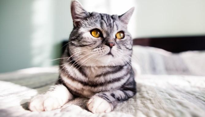 חיסון מרובע לחתולים